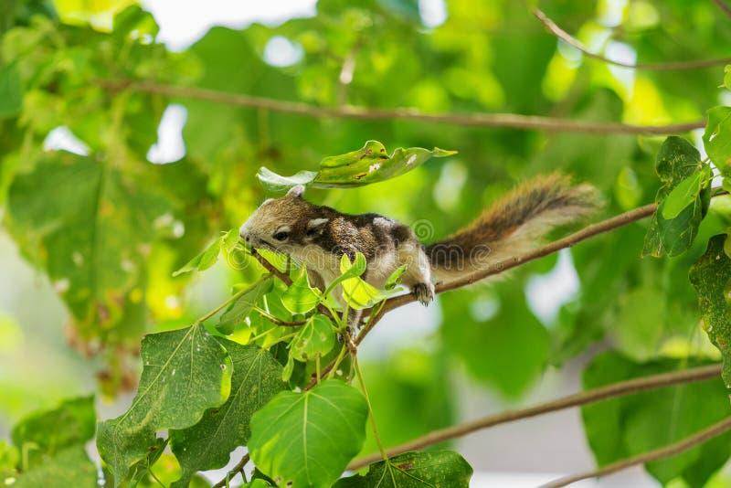 Carolinensis del este de Grey Squirrel Sciurus en árbol imágenes de archivo libres de regalías