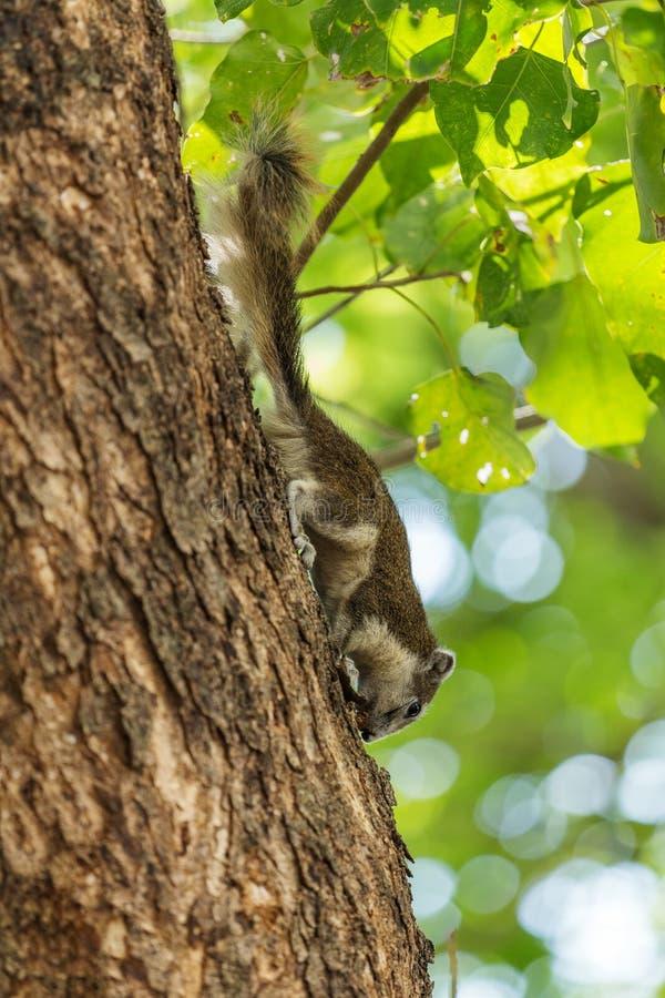 Carolinensis del este de Grey Squirrel Sciurus en árbol imagen de archivo