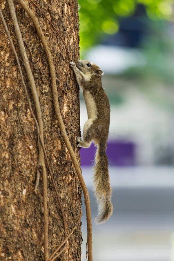 Carolinensis del este de Grey Squirrel Sciurus en árbol imagenes de archivo