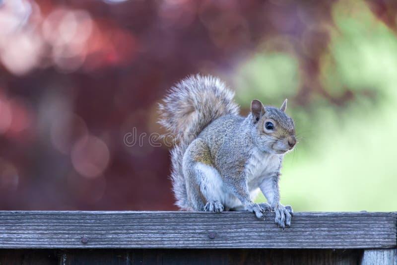 Carolinensis del este del sciurus de Gray Squirrel que presenta en la cerca del patio trasero con las luces naturales de la últim fotos de archivo libres de regalías