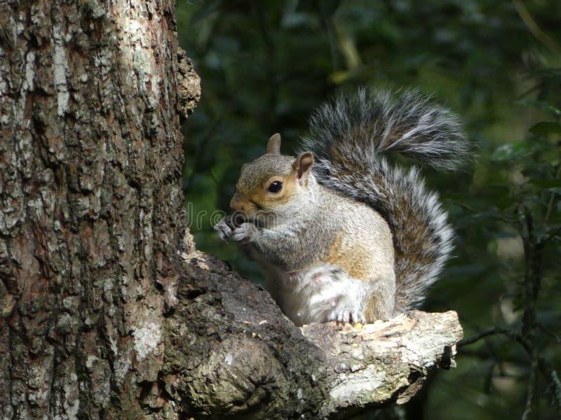 Carolinensis del Sciurus - Grey Squirrel, especie invasor al Reino Unido, importado de América septentrional imagen de archivo libre de regalías