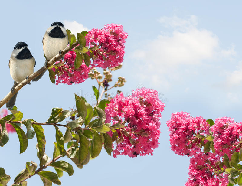 Carolinensis poecile de Carolina Chickadees em um MYR de florescência do crepe fotos de stock royalty free