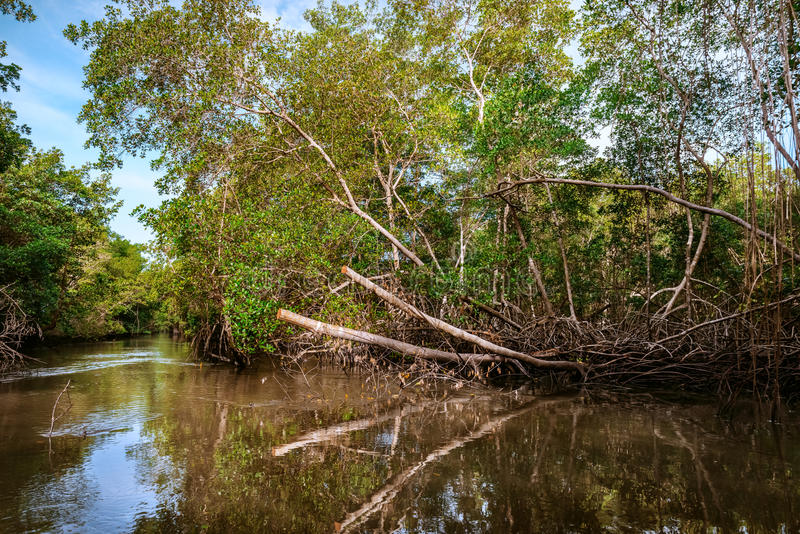 Caroni河沼泽密集的热带气候美洲红树森林在特立尼达和多巴哥 免版税库存图片