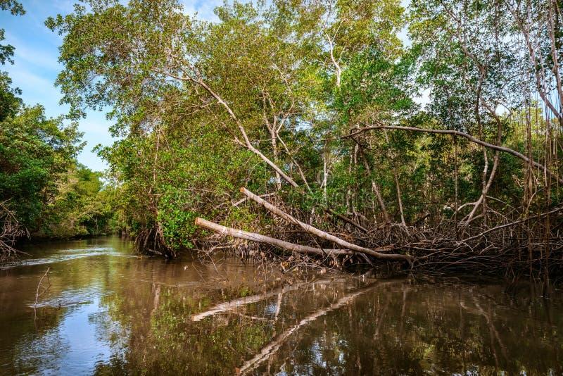 Caroni bagna rzecznego zwartego tropikalnego klimatu namorzynowy las w Trinidad i Tobago obraz royalty free