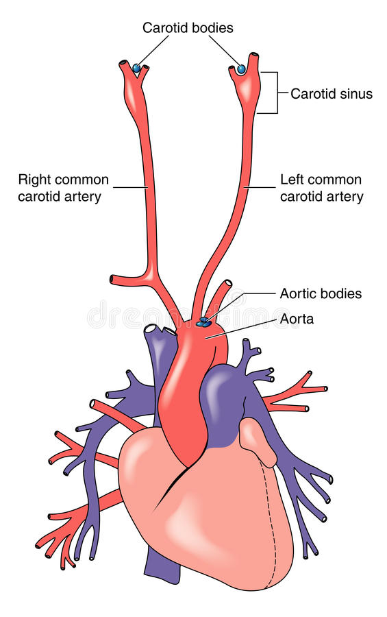 Carotid and aortic bodies stock vector. Illustration of cardiac ...