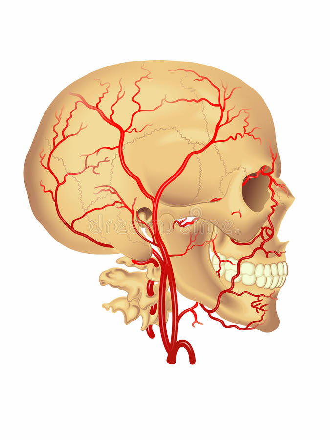 Carotid artery royalty free illustration