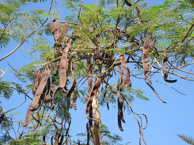 Caroube à feuilles persistantes photo libre de droits