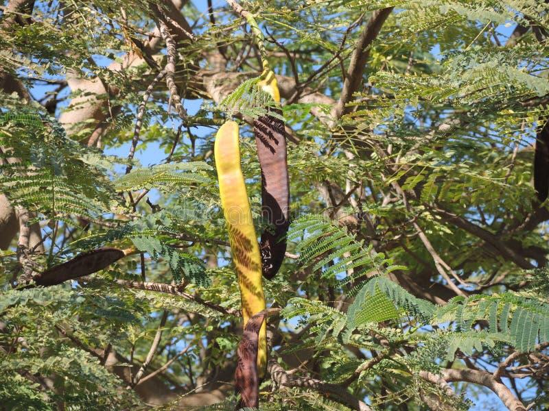 Caroube à feuilles persistantes photos libres de droits