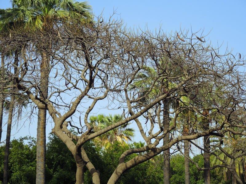Caroubier à feuilles persistantes photographie stock