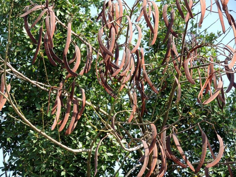 Caroubier à feuilles persistantes photo stock