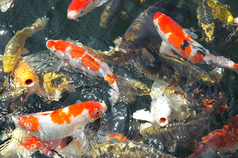 Download Carp stock image. Image of tame, swimming, colors, ponds - 158977