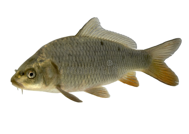 carp royaltyfria foton