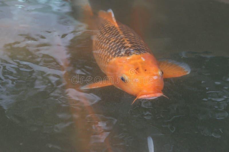 carp royaltyfri fotografi
