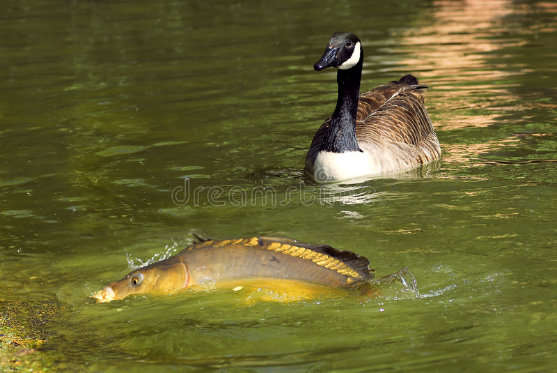 Carp and Canada goose. Carp with half left water and a Canada goose stock photos