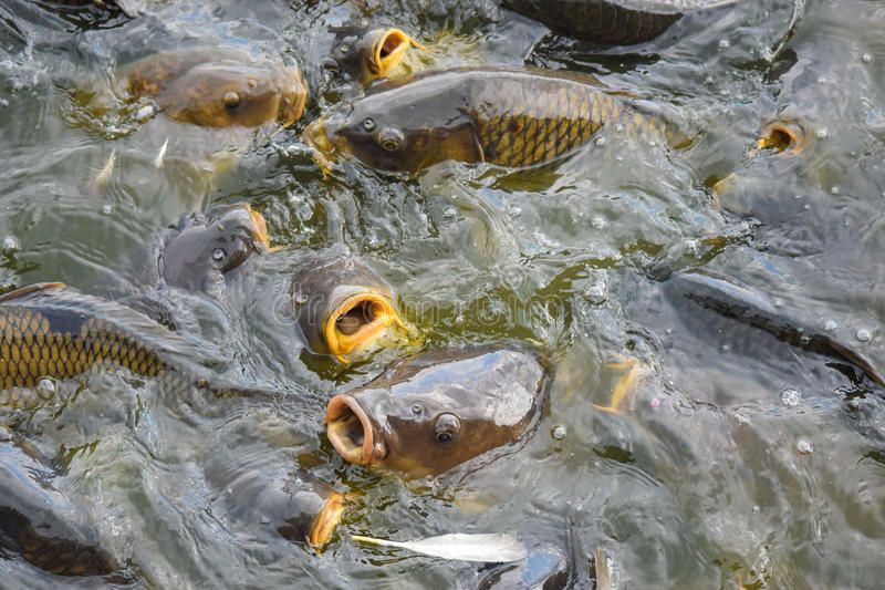 Carp Feeding Frenzy. Carp at Pymatuning lake Pennsylvania stock photography