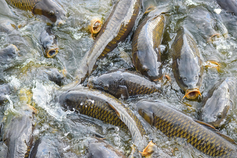 Carp feeding frenzy at Pymatuning Lake. Carp at Pymatuning lake Pennsylvania stock image