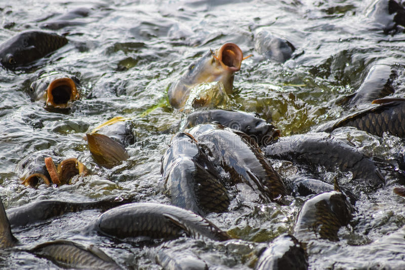 Carp feeding frenzy at Pymatuning Lake. Carp at Pymatuning lake Pennsylvania stock photo