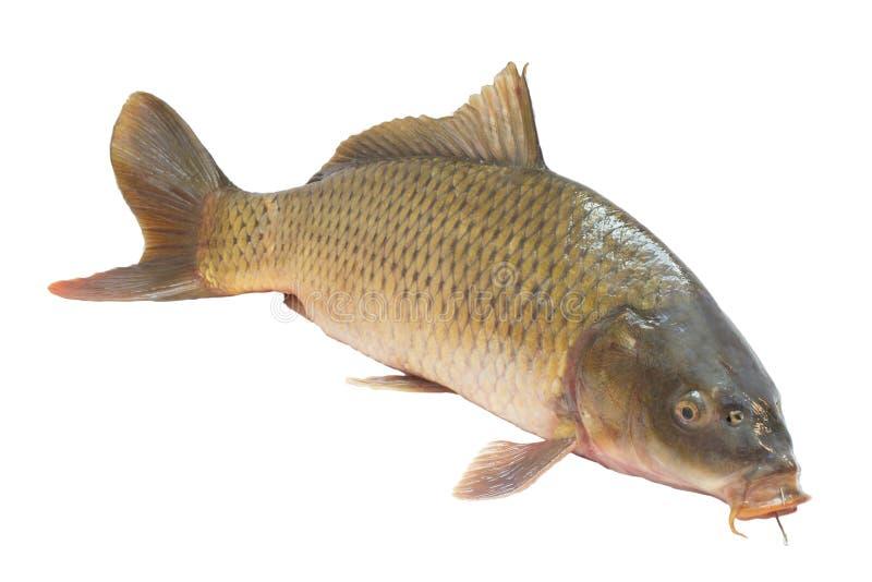 Carp fish royalty free stock image