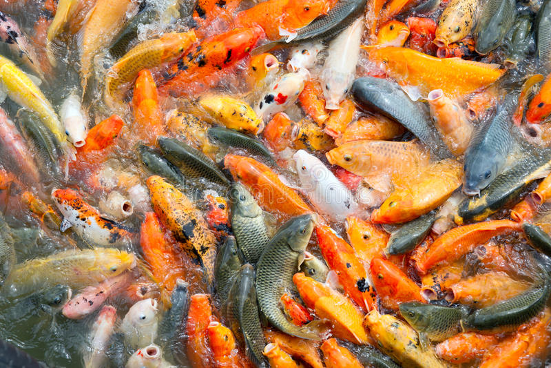 Download Carp fish stock image. Image of aquaculture, fresh, group - 29032335