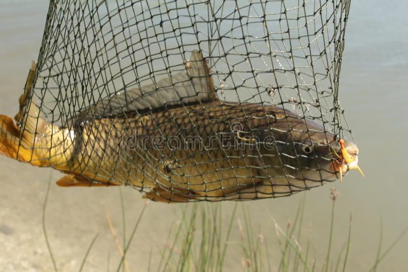 Carp Fish Caught In Net stock photos