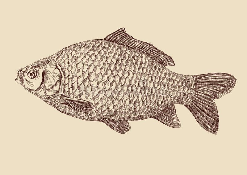 Carp fish drawing vector illustration vector illustration