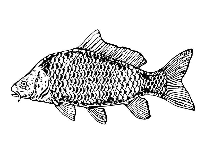 Black Carp Fish | Carp Fish Engraving Style Vector Illustration Stock Vector