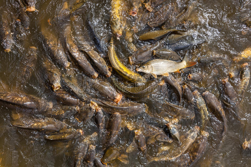 carp-fish-feeding-frenzy-mouths-open-the