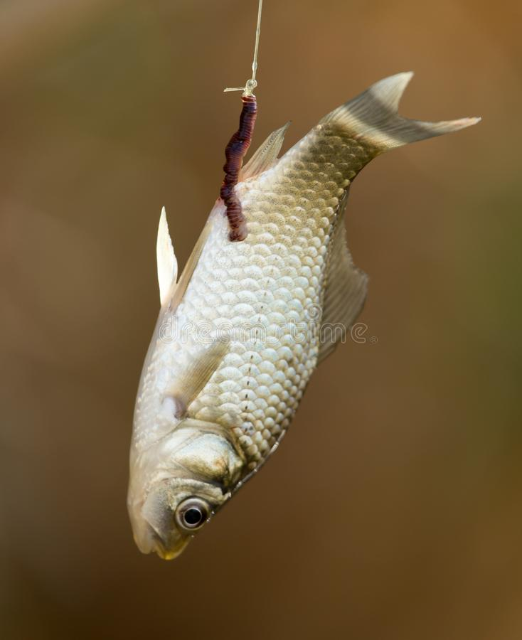 Carp fish on the hook rod royalty free stock images
