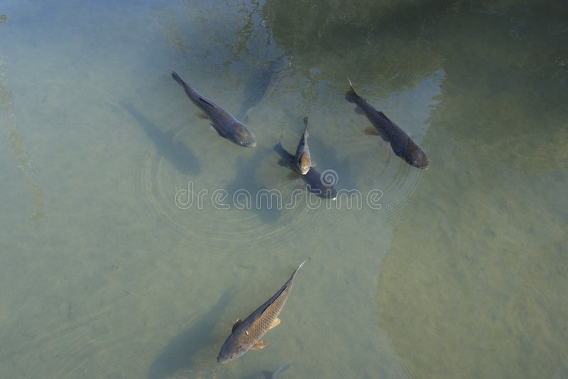 Carp fishes royalty free stock photos