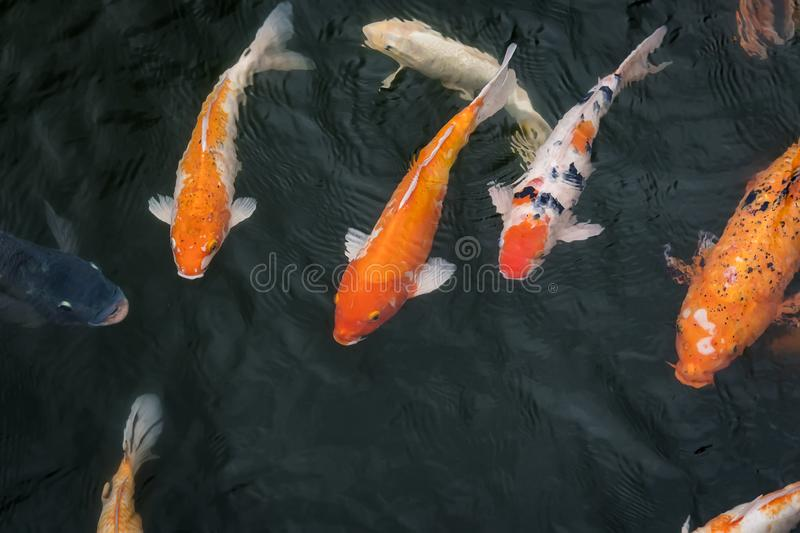 Carp fishes are swimming in the lake inside Hue Imperial which is a walled fortress and palace in the city of Hue, the former. Imperial capital of Vietnam royalty free stock images