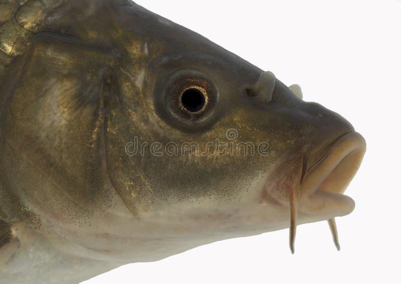 Carp head - isolated. Live fish photo in aquarium stock image