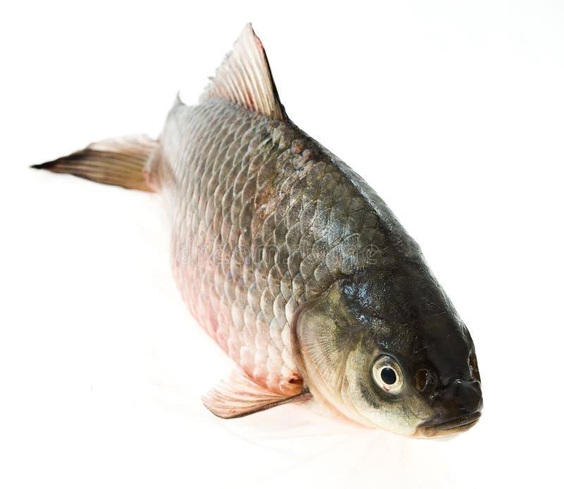 Carp isolated on white. Fish carp on a white background royalty free stock photo