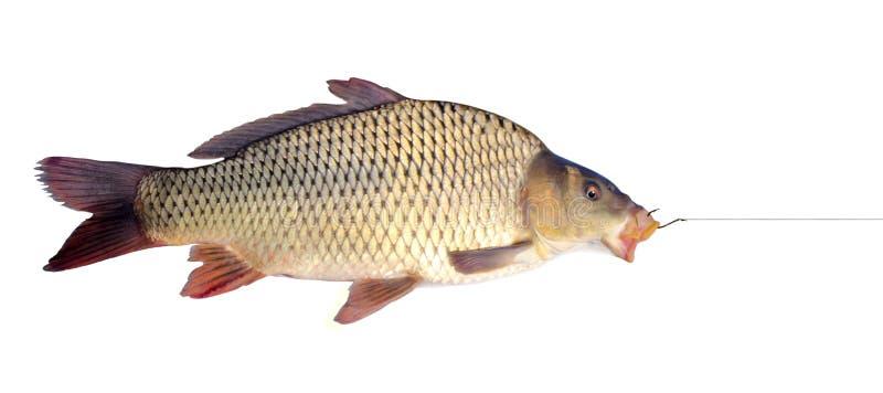 Carp på en fiskekrok royaltyfri foto