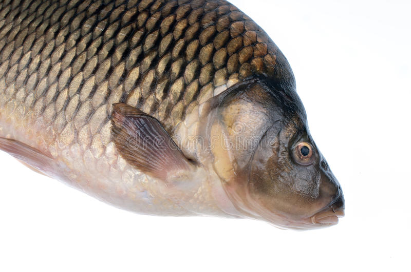 Carp- Photography Royalty Free Stock Images