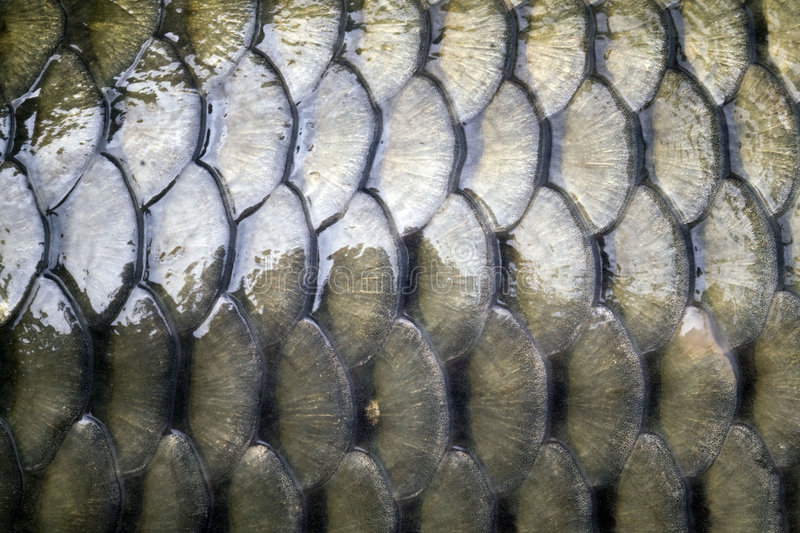 Download Carp's Detail - Scales Stock Photography - Image: 7627752