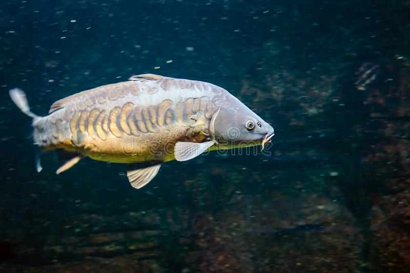 Carp swims with other fish in a freshwater lake royalty free stock photo