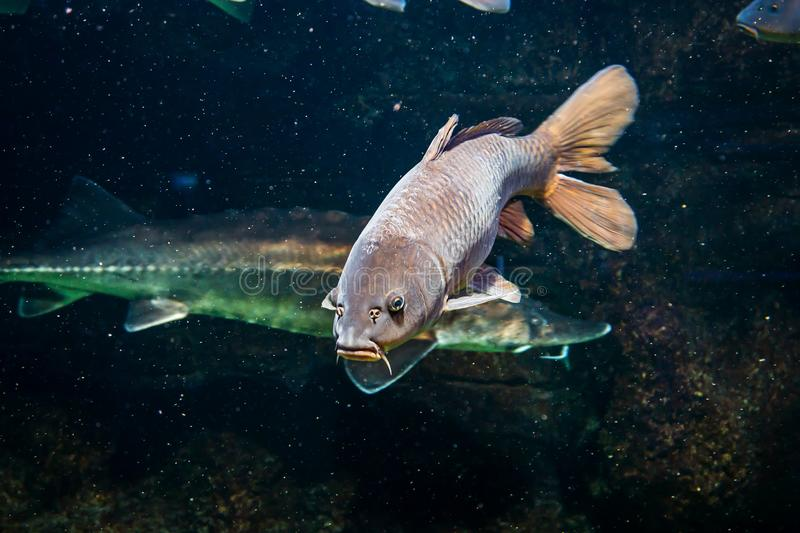 Carp swims with other fish in a freshwater lake stock photos