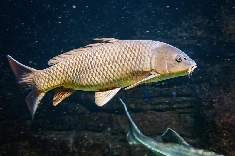 Carp swims with other fish in a freshwater lake stock image