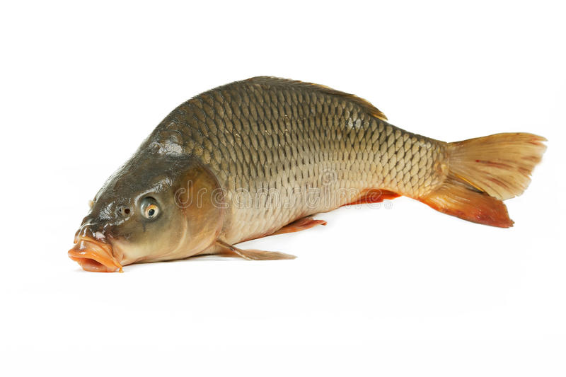 Carp is traditional Czech christmas food. Carp has tasty dietary meat. stock images