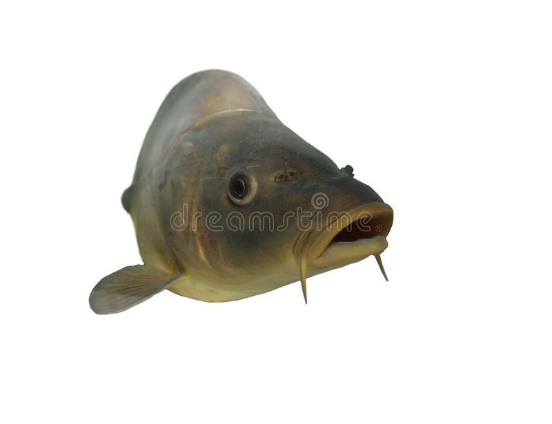 Download Carp on white background stock image. Image of sirloin - 12204409