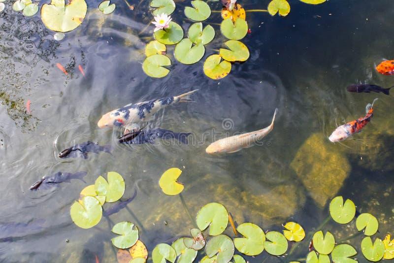 Carpa colorida na lagoa fotografia de stock