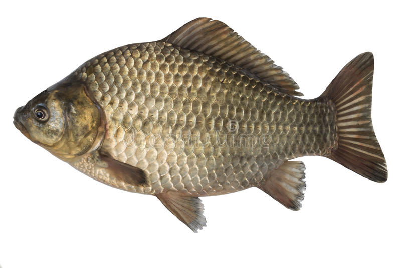 Carpa crucian de los pescados crudos aislada en el fondo blanco, aislado en el fondo blanco fotos de archivo libres de regalías