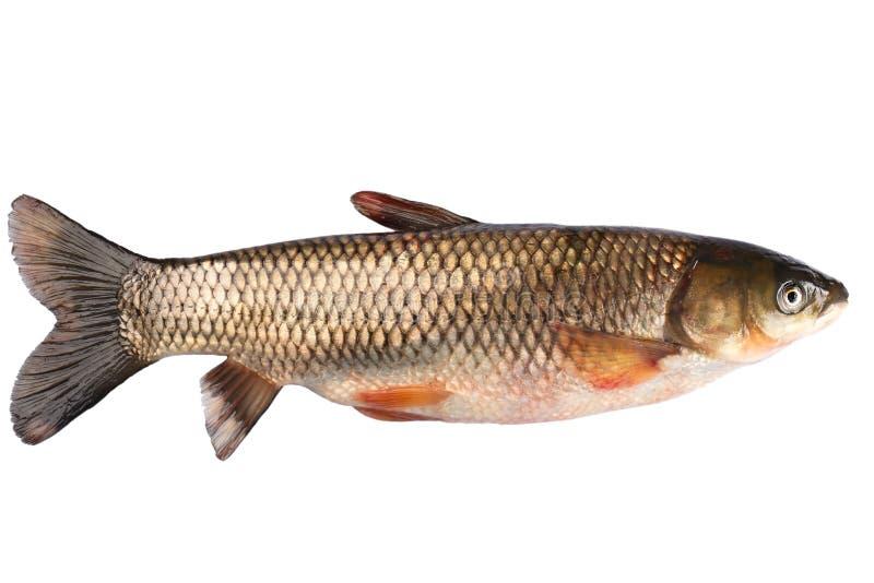 Carpa da grama dos peixes isolada fotografia de stock royalty free