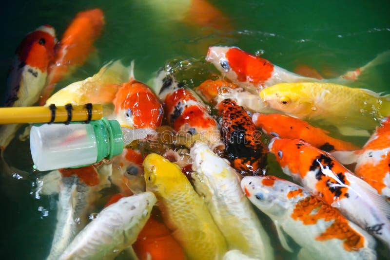 Carpa de alimentaci?n de los pescados con los pescados de lujo coloridos del koi de la botella de leche en el agua superficial imágenes de archivo libres de regalías