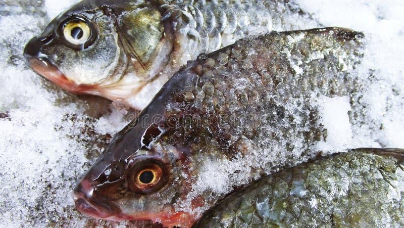 Carpa de los pescados foto de archivo libre de regalías