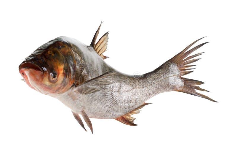 Carpa de plata de los pescados aislada en blanco imagen de archivo