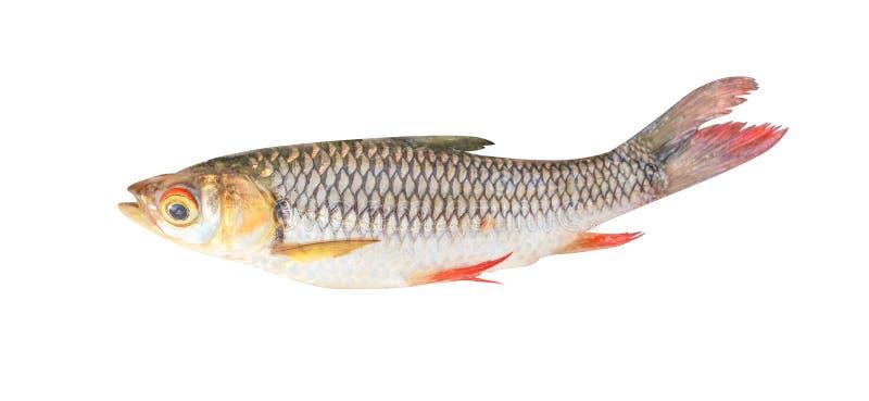 Carpa del fango o siamensis siamesa del henicorhynchus aislado en el fondo blanco con la trayectoria de recortes, pescado de agua imagen de archivo