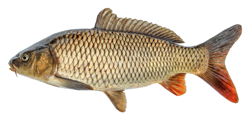 Carpa del pesce con le scaglie Pesci crudi del fiume immagine stock