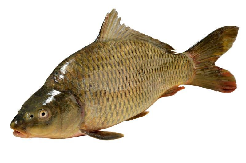 Carpa del pesce di carpio del Cyprinus fotografia stock