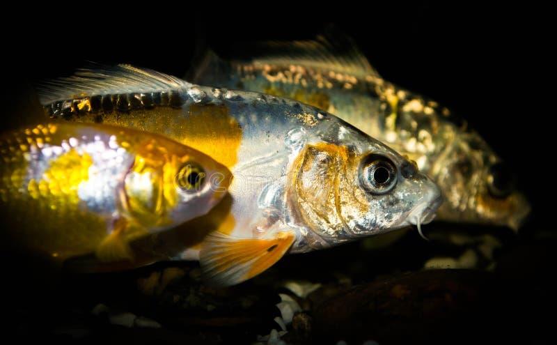 Carpa do koi dois e um peixe dourado fotografia de stock